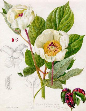 Paeonia whittmanniana