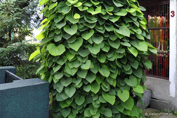 aristolochia macrophylla lännenpiippuköynnös - Google-haku