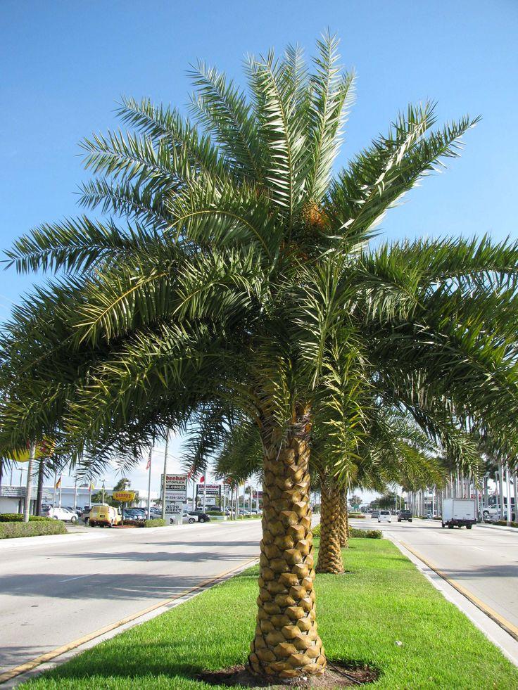 Canary Island Date Palm Seeds For Sale