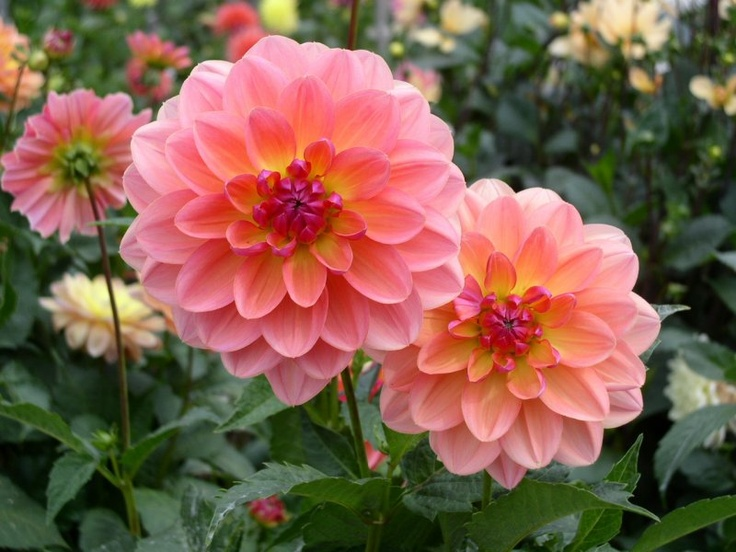 The most beautiful flower in the whole world dahlias for What is the most beautiful flower on earth