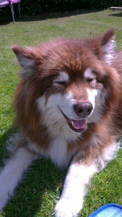 My Finnish Lapphund | Finnish Lapphund | Pinterest ...