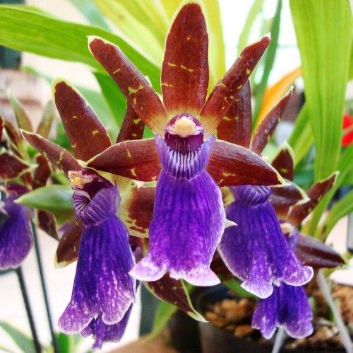 ORQUIDEAS !!: orquideas raras exoticas