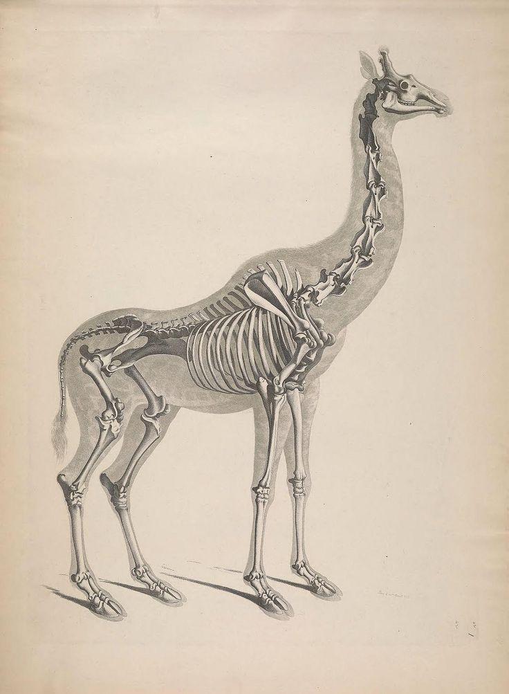 25 best Giraffe images on Pinterest Giraffes, Giraffe and Nature - griffe für küche