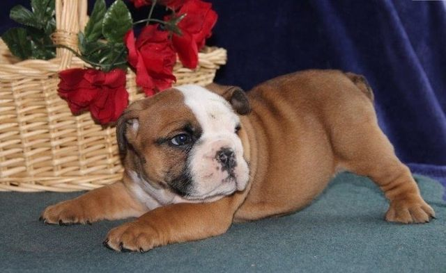 English Bulldog Puppies For Sale Special 50 Price Off Today In 2020 Bulldog Puppies For Sale Bulldog Puppies English Bulldog Puppies