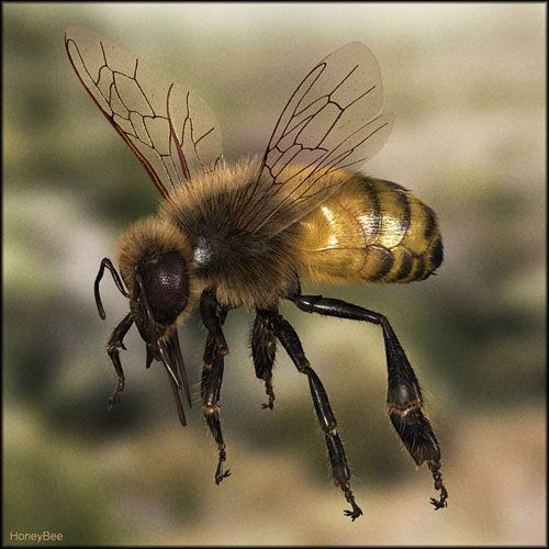 Honey Bee on his way to his job.