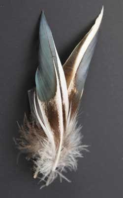 Shoveler Flank Feathers