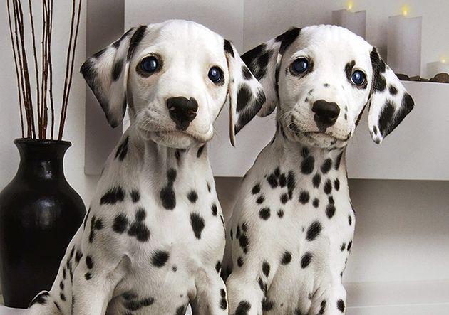 Tiga Sikap yang Diperlukan dalam Melatih Anak Dalmatian http://jitunews.com/read/23267/tiga-sikap-yang-diperlukan-dalam-melatih-anak-dalmatian #Jitunews