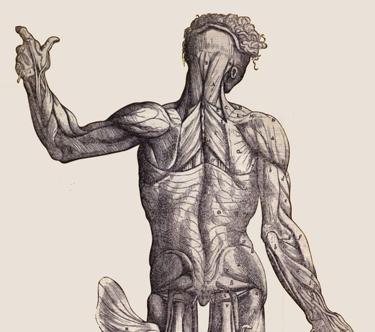 tr14ngl3:    torso anatomy draw  From: 'De humani corporis fabrica libri septem' (On the fabric of the human body in seven books) by Andreas Vesalius (1514–1564)