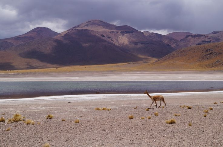 #Vicuña, a living treasure. The deserted and magical highlands of the #Andes, between four and six thousand metres where the air is clear and rarefied, is the home of a splendid animal: the vicuña, a rare llama-like creature whose fleece is one of the most #precious in the world. Sensitive, nimble, shy and gentle, the vicuña symbolises natural elegance. Its coat is incredibly soft, light, warm, unique. For quality and rarity, its fibres are the most precious in the world. #Agnona