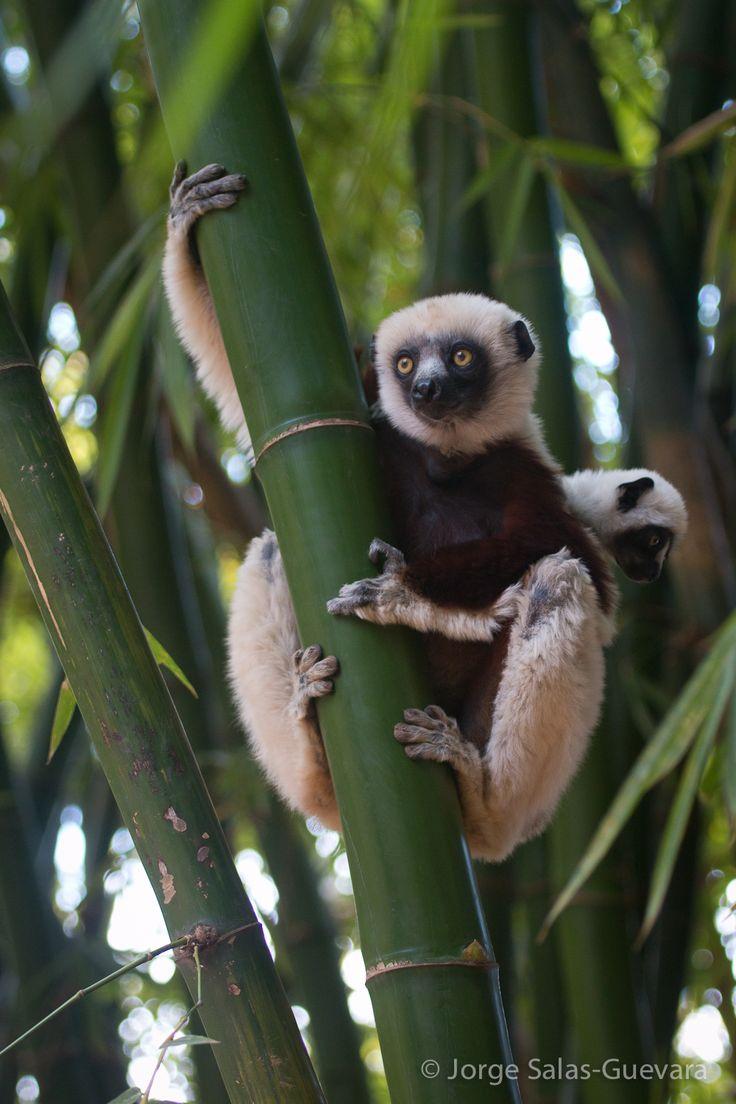 Madagascar. Nahampoena Reserve. Coquerel's Sifaka Lemur