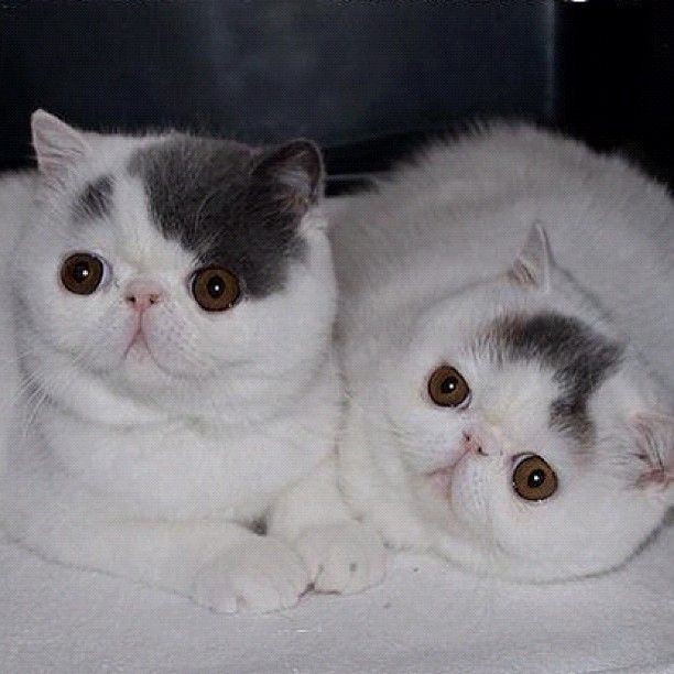 Image result for The Exotic (also, Exotic Shorthair) 8 Share Pin Mail Share