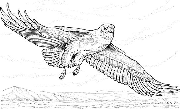 Hawk coloring page for Birds of prey coloring pages