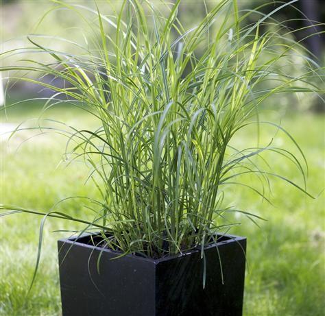 Jungfruhirs är ett dekorativt gräs som bildar stora ruggar och blommar med skira, purpurfärgade vippor på höga stänglar.