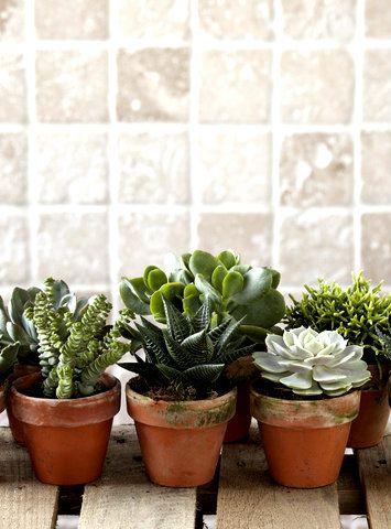 Samling af sukkulenter, som både er dekorative og nemme at passe. #sukkulenter #grønneplanter #grønnestueplanter #potteplanter #houseplant #indoorplant #plantorama