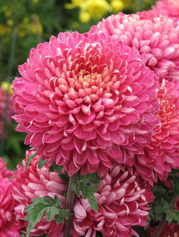 они рискнули, все крупноцветковые хризантемы фото снимать