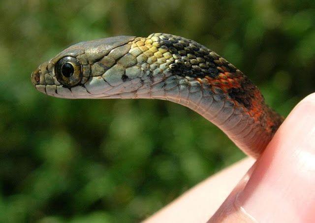 Toxinas Emprestadas A Curiosa Interacao Entre A Cobra E O Sapo