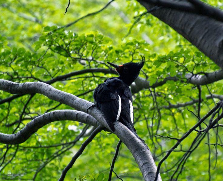 Conserva: Videos y Sonidos de Fauna de Chile: Carpintero negro (Campephilus magellanicus)