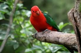 King Parrots are so inquisitive. Look at his cocked head. They listen as you speak.
