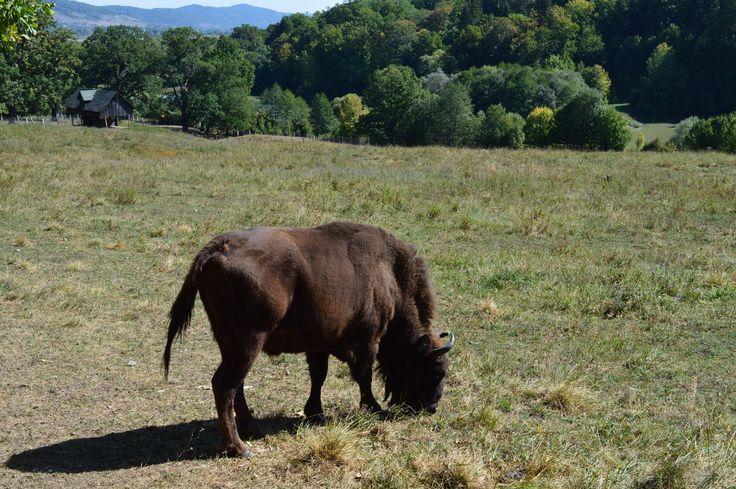 "Bison in ""Vânători"" Natural Park from Neamț County, Romania."