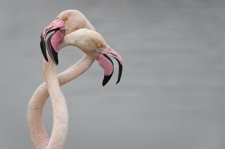 Intreccio - Particolare intreccio fra due fenicotteri rosa. Il fenicottero rosa o fenicottero maggiore (Phoenicopterus roseus). (Camrgue, France)