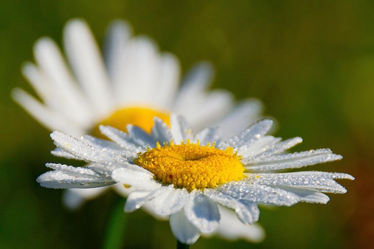 camomile by Paul Photospec on 500px