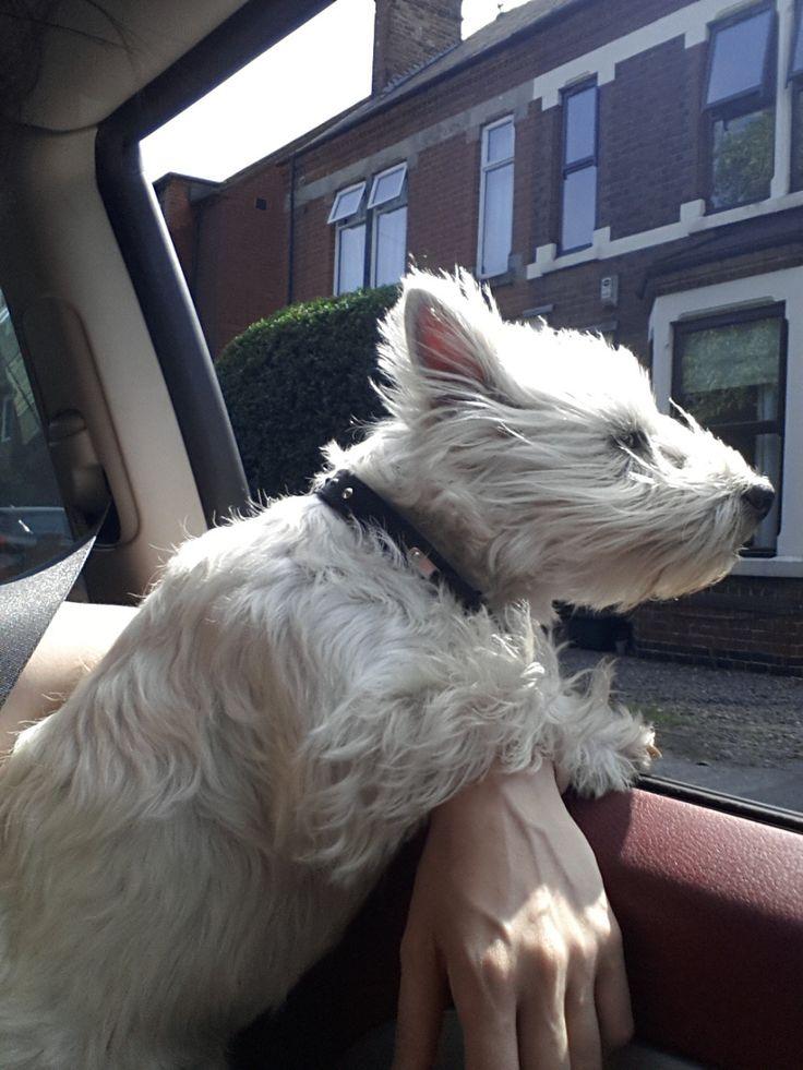 Hi I'm Arthur the never so white West Highland Terrier. Arthurs Instagram - @arthurthewestie Just so...