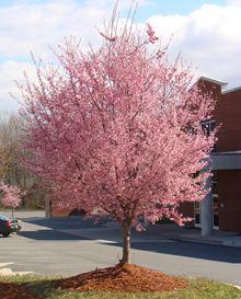 Okame Cherry Treee