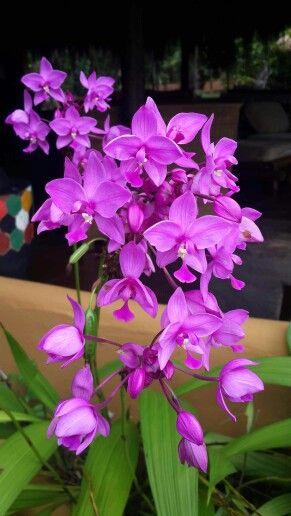 Orquídea de Tierra
