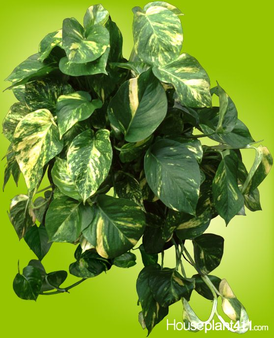 use piece of pothos stem rooted in water or vermiculite to easily propagate these - House Plant Identification By Leaf