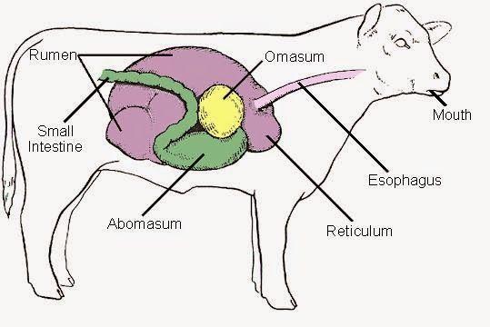 Cow Rumen Diagram Schematics Wiring Diagrams
