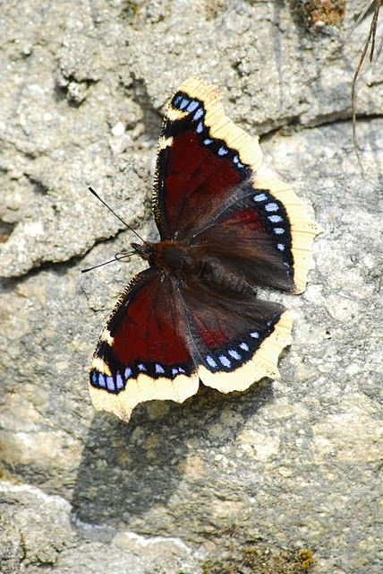 **Mourning Cloak Butterfly (Nymphalis antiopa)   ...........click here to find out more     http://googydog.com