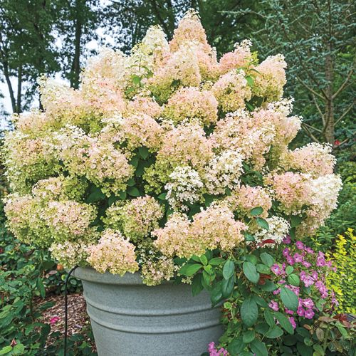 best 25 bobo hydrangea ideas on pinterest bobo garden. Black Bedroom Furniture Sets. Home Design Ideas