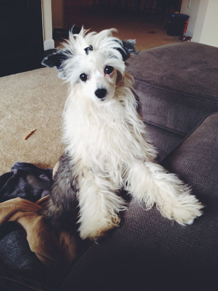 5 month old chinese crested powder puff   Animals ...
