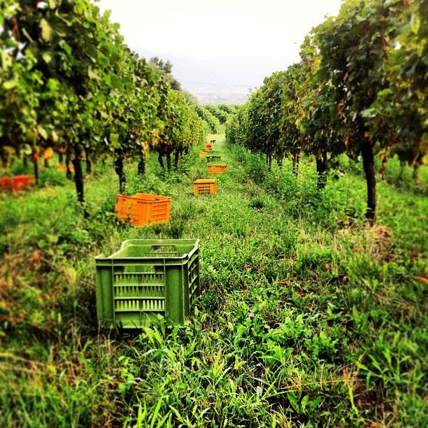 """Ready to go! #harvest 2013. #franciacorta #vino #wine #italianwine #italy #italia #hardwork #enjoy #instaitalia #instapic #instawow #instacool #instagood #like #love #winelovers #lovewine #picoftheday #photooftheday #tagstagram #tag #nature #green #grapes #summer #winemaking"""