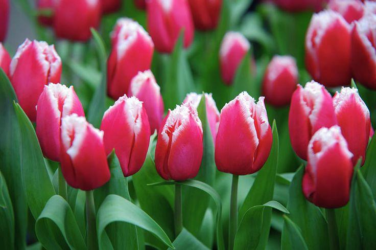 Arabian Lady Tulips. Keukenhof Photograph by Jenny Rainbow