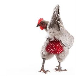 I think my husband would have me commited!  These are so funny and cute!  Chicken Diaper (Free shipping!) from My Pet Chicken