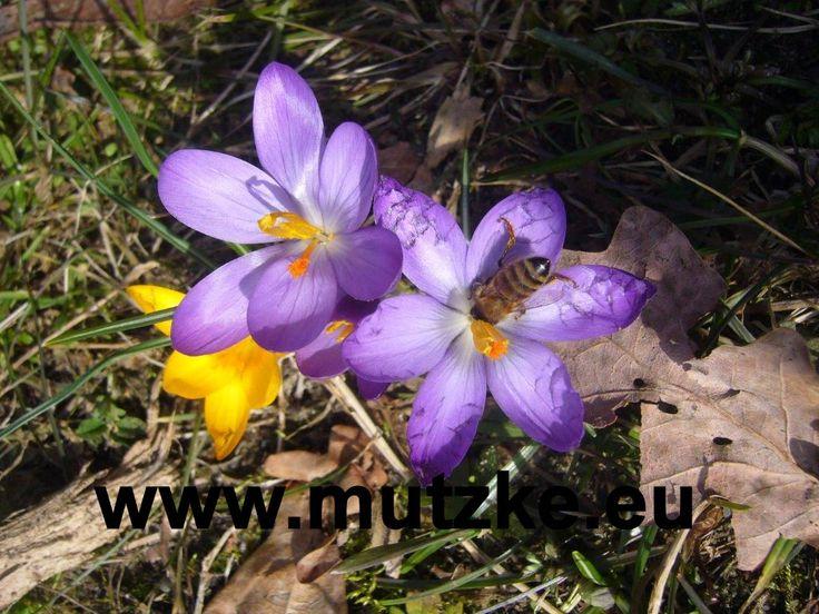Vorfreude auf den Frühling verstecken ;)  Blumenzwiebel setzen  Im September werden Zwiebel für #Tulpen, #Narzissen und #Krokusse gepflanzt – Damit es im Frühling keine Enttäuschung gibt, am besten bis Oktober alles stecken. Zur Stärkung der Wurzeln und für eine intensive Farbenpracht gleich mit EM Kräuteraktiv und Greengold angießen. Auch beim Gemüse ist bis Ende September die optimale Zeit, um Winterzwiebel zu pflanzen.  #EMKräuteraktiv #Greengold #Frühling