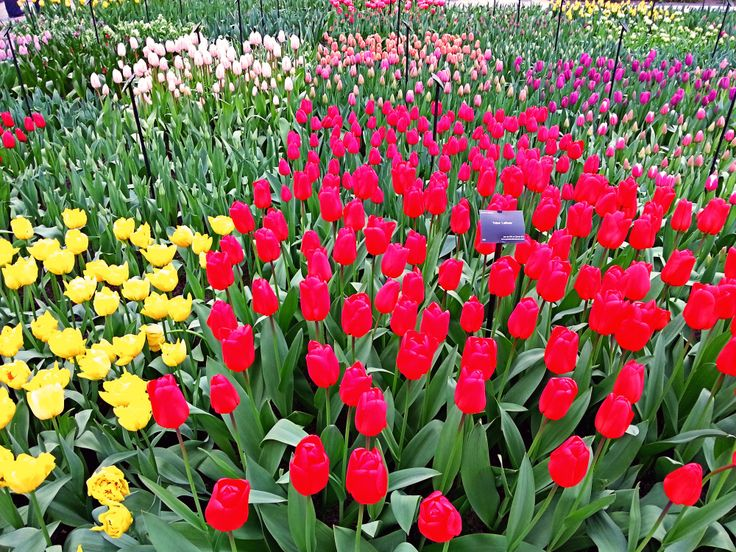 colorful Netherlands. Beautiful tulips from Keukenhof park. Spring time in Netherlands