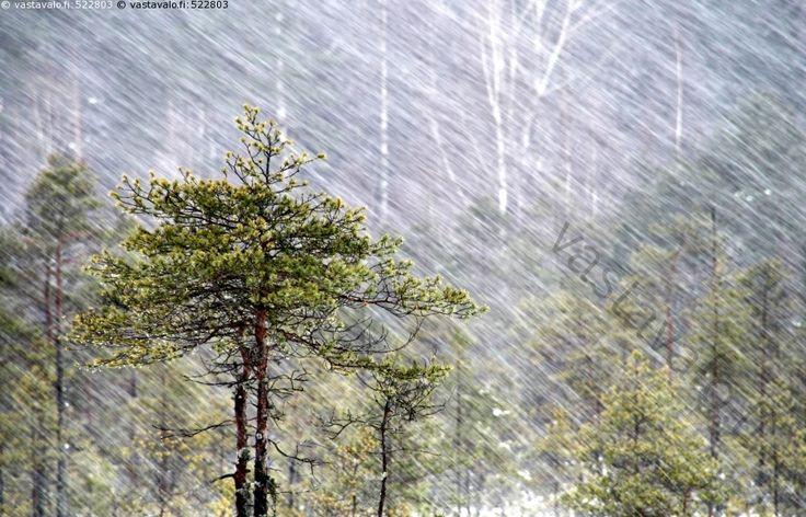 Mänty räntäsateessa - Torronsuon kansallispuisto Tammela ,Pinus sylvestris Finland