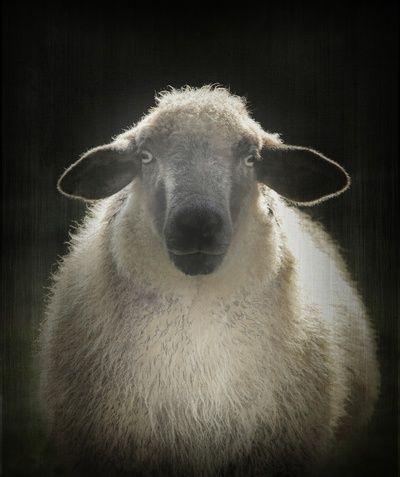 Sheep by Monika Strigel
