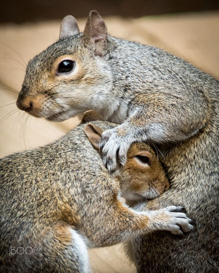 Squirrel Hugs - mother protects baby