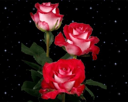 corazones  y  gif | GIFsss: Bellas rosas rojas brillantes