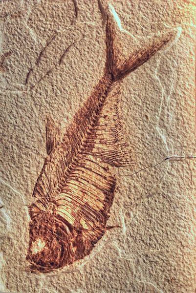 Fossil fish (Wyoming) by Stefano Vianello Diplomystus dentatus (50-75 million years ago)