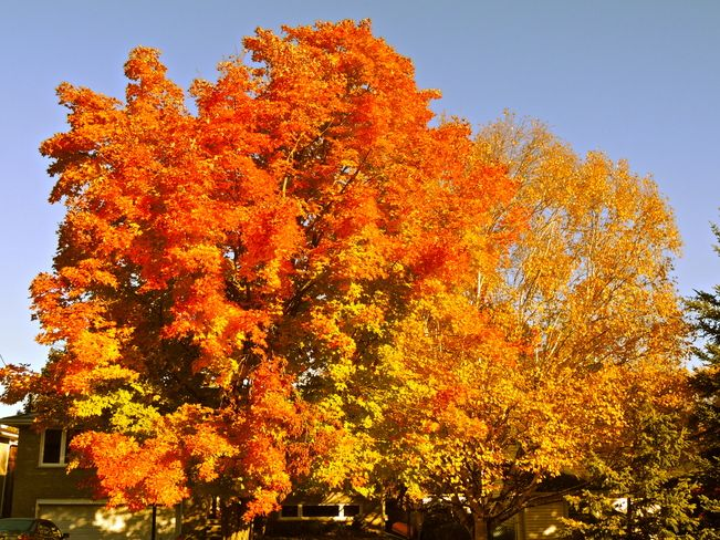 Maple tree october