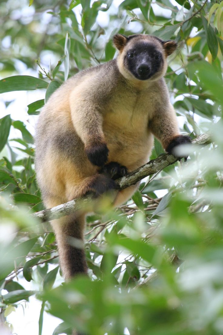 Lumholtz's tree-kangaroo (Dendrolagus lumholtzi) is a heavy-bodied tree-kangaroo found in rain forests of the Atherton Tableland Region of Queensland. Its status is classified as least concern by the IUCN, although local authorities classify it as rare.
