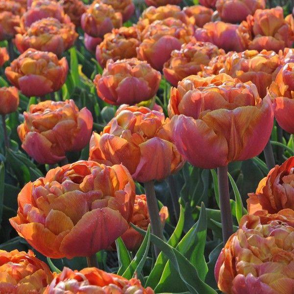 Die Tulpe 'Brownie' blüht in Apricot-Orange. Pfanzzeit ist im Herbst - online bestellbar bei www.fluwel.de