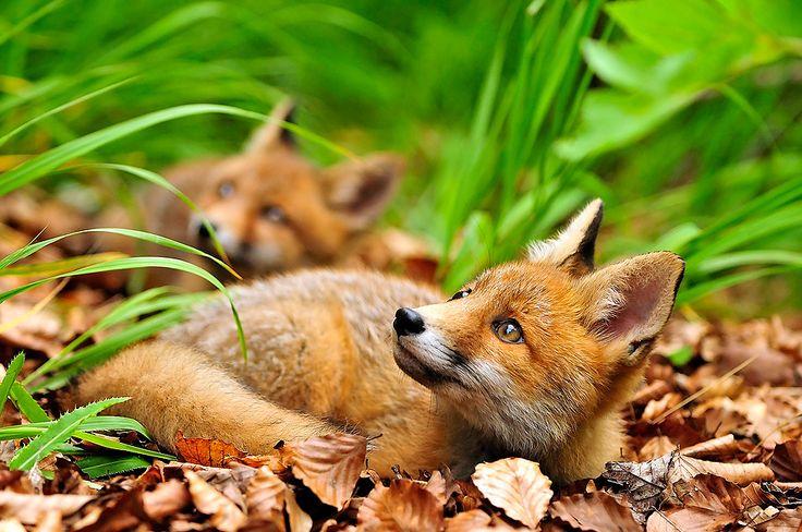 Gabriele Bano   FVG005419.jpg   Cuccioli di Volpe nel bosco