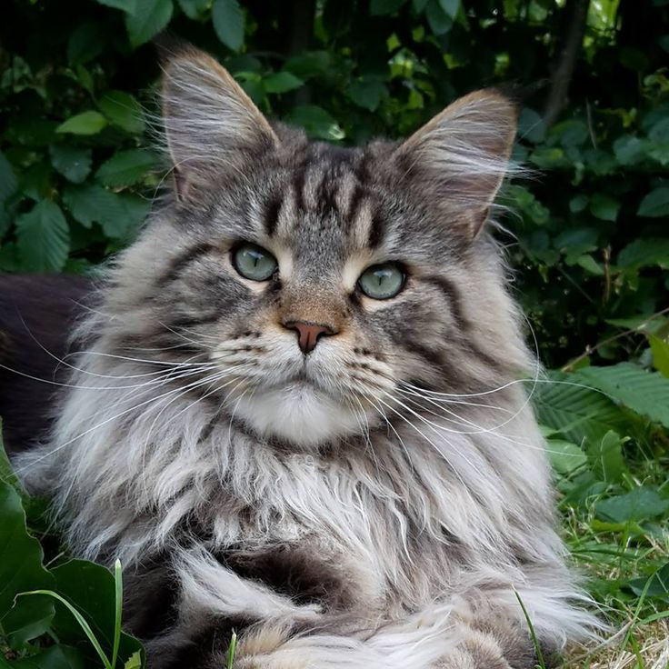 15 best My Maine Coons of Shadowlady images on Pinterest Maine - best of ns21