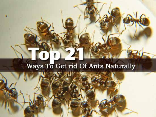 Top 21 Ways To Get Rid Of Ants Naturally Landscaping Pinterest The O 39 Jays Ants And Tops