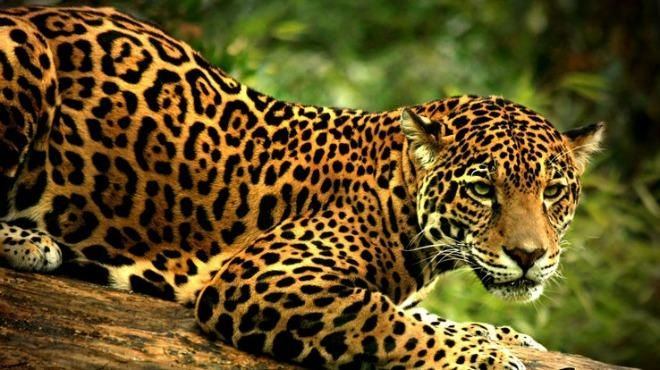 Come On The Exciting Jaguar Scientific Tour Mexico In The Yucatan Peninsula To Observe And Research Jaguars In The Quinta Jaguar Animal Big Cat Species Animals
